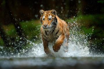 Fotorolgordijn Tijger Amur tiger playing in the water, Siberia. Dangerous animal, tajga, Russia. Animal in green forest stream. Siberian tiger splashing water.