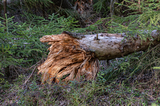 tree broken by a storm in the forest