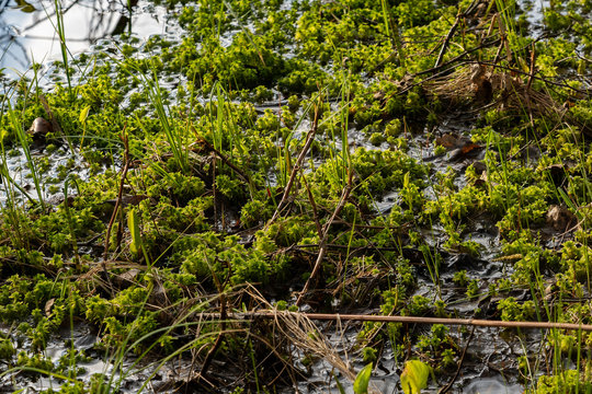 moss and dry grass in the water on the edge of a swamp in the forest