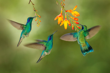 Hummingbird flight. Green Violet-ear, flock group shine birds. Colibri thalassinus, flying in the nature tropical wood habitat, red flower, Tapanti NP, Costa Rica. Wildlife scene from jungle. - fototapety na wymiar
