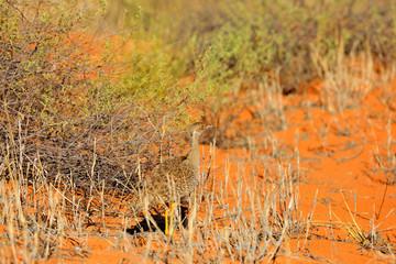Fotomurales - Female bird Southern black  Afrotis afra, bird in the grass, morning light, okavango delta, Moremi, Botswana. Wildlife scene from African nature. Sunrise in nature.