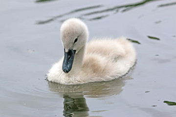 Cygnet swimming in a lake