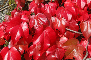 Virginia creeper on a wall in autumn