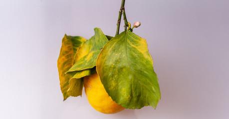 Bio Zitrone mit Stengel an dem Blüten und Blätter hängen- isoliert