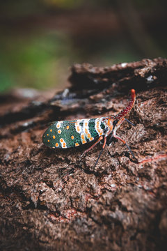 A Pyrops candelaria lanternfly spotted at Cuc Phuong National Park in Vietnam