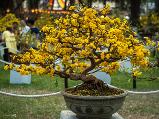 Foto auf Acrylglas Bonsai Yellow Flowering Bonsai Tree At Park