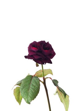 Close-up Of Maroon Rose Against White Background
