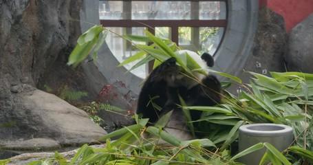 Fototapete - Big panda eat bamboo at park