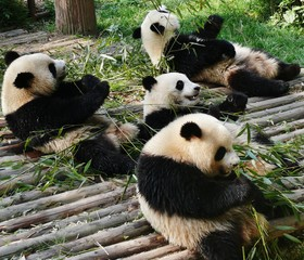 Photo sur Aluminium Panda Close-up Of Panda Bears