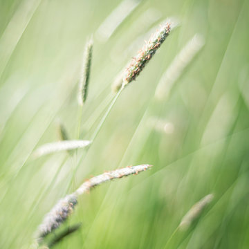 Grasses photographed with a vintage lens