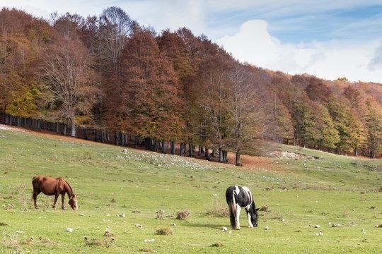 Ienne cavalli al pascolo Monte Livata Lazio