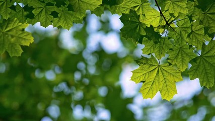 Wall Mural - Summer green park. Leaves of maple tree waving in the wind. Camera looking above. Beautiful floral blurred bokeh. 4K