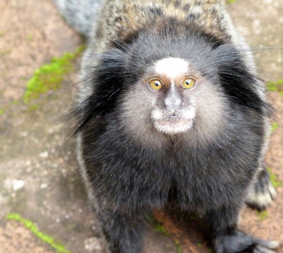Portrait Of Black Tufted-ear Marmoset At Zoo