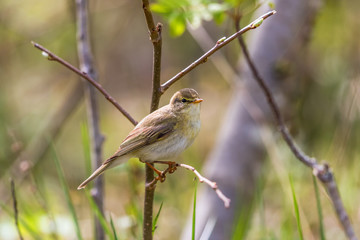 Willow warbler on a tree branch in spring woods