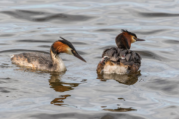 Crested Grebe with a newborn chick on its back