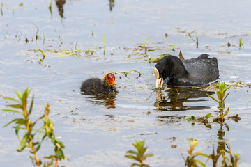 Eurasian Coot with a young chick in the water