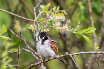 Reed Bunting sitting in a bush on a branch