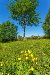Globeflower on a summer meadow