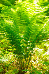 Ferns plants with sunlight in the forest