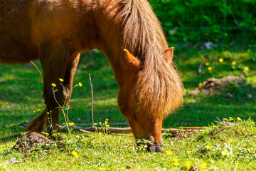 Horse grazing on a grass meadow with flowers