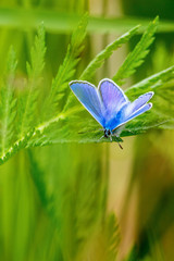 Green leaf with a common blue butterfly