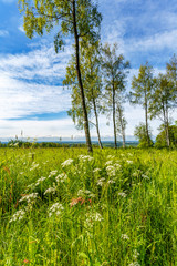 Flowers on a meadow with birch trees