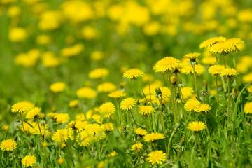 Yellow dandelion flowers (Taraxacum officinale). Dandelions field background on spring sunny day....
