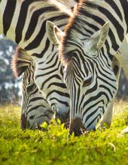 Fototapeten Zebra Close-up Of Zebra