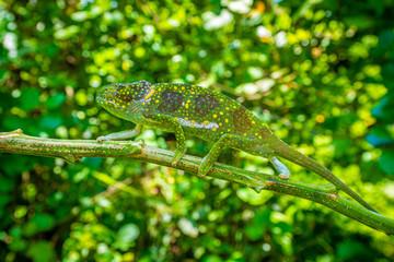 Aluminium Prints Chameleon chameleon on a branch