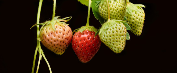 Strawberries ripening from green to red close up