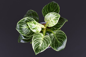 Top view of tropical 'Philodendron Birkin' house plant with beautiful white line patterns on dark green leaves on black background