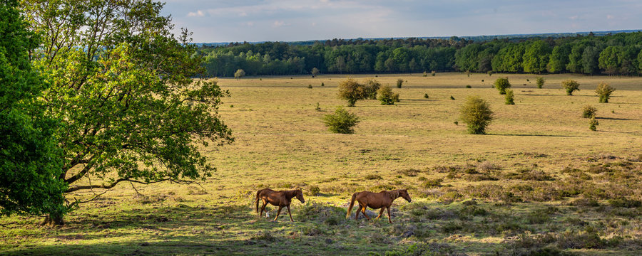 View onm wild horises from viewpoint 'De Valenberg', in natrure reserrve Planken Wambuis at Veluwe Gelderland, Netherlands