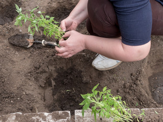 young woman with puffy hands is planting corn seedlings from jars. bald female separates roots of plants and plants them in ground with garden tools