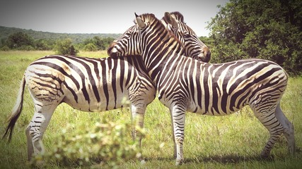 Photo sur Plexiglas Zebra Zebras Standing On Grassy Field