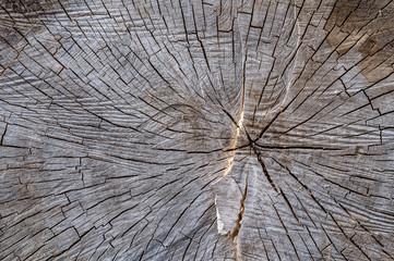 Hölzerner Hintergrund eines dicken gefällten Baumes