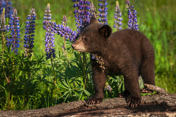 Wall Mural - Black Bear Cub (Ursus americanus) Stands On Log With Lupine Summer