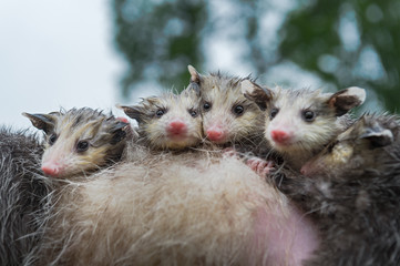 Wall Mural - Wet Virginia Opossum Joeys (Didelphis virginiana) Cling Tightly Together on Mothers Back Summer