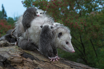 Wall Mural - Virginia Opossum (Didelphis virginiana) Loaded Up with Joeys Walks Down Log Summer