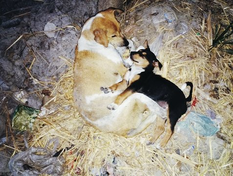 High Angle View Of Stray Dog With Puppy Relaxing On Field