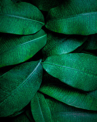 Wall Mural - closeup nature view of tropical leaf, dark wallpaper concept, abstract nature green background