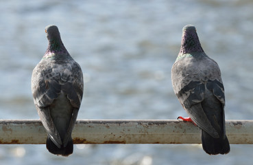Pigeon bird standing on old metal tube over sea background