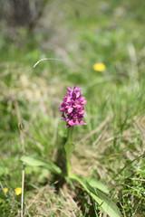 Bellissima orchidea, orchis morio, sulla dorsale del monte Torondon