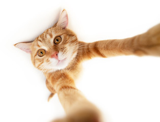 Portrait of tabby ginger cat makes selfie over white background. Adorable pet posing like he takes photos with smart phone. Cute domestic animal. Red cat photographs himself, natural light,wide angle.
