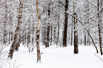 birch and oak trees in snowy forest of Timiryazevsky park in Moscow city on winter day