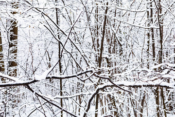 snow-covered black branches of trees in snowy forest of Timiryazevsky park in Moscow city on winter day