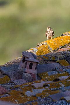 Female Lesser kestrel standing on an old house's roof