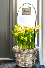 Beautiful Daffodils flowers growing in a basket with welcome sign