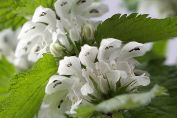 blooming nettle, growing in the garden, macro
