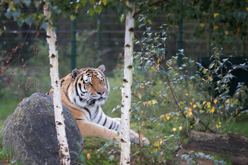 Photo on textile frame Tiger tijger in beekse bergen ligt lekker te relaxen