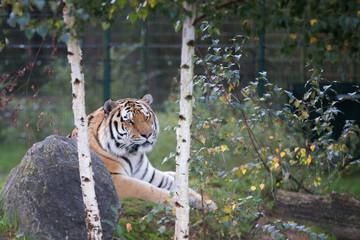 Wall Murals Tiger tijger in beekse bergen ligt lekker te relaxen